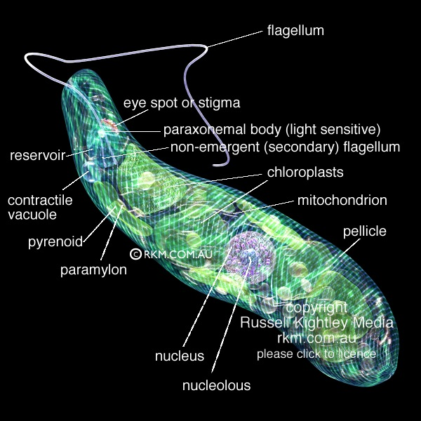 Protist Cell Structure Euglena by Russell Kig...